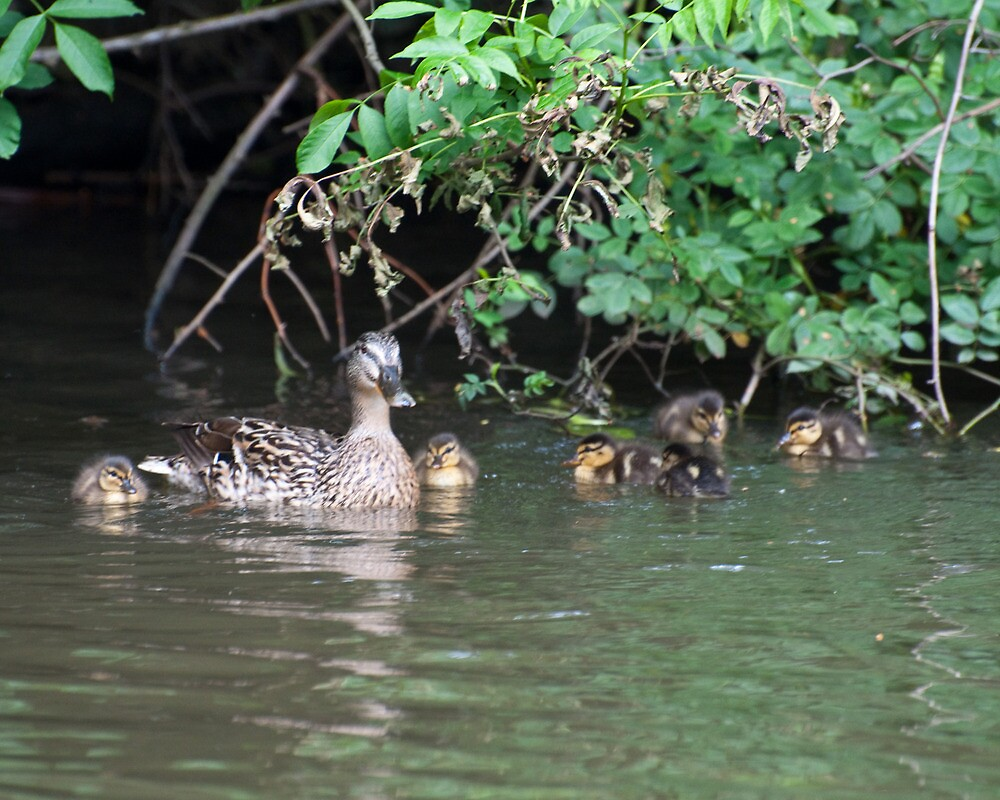 Gentle Mum: Female Mallard Duck with Ducklings by Ann Miller