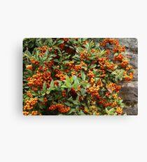 Firethorn Bush Canvas Print