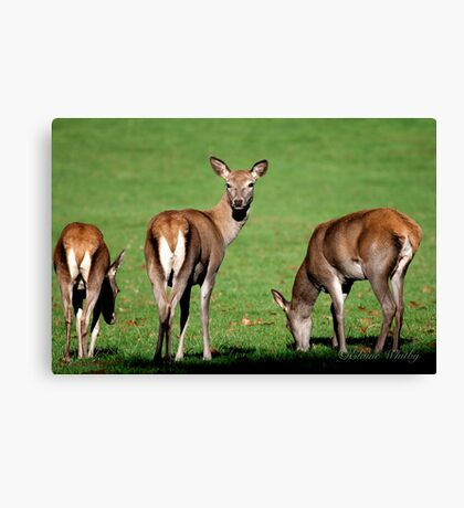 Red Deer Wollaton Park Canvas Print