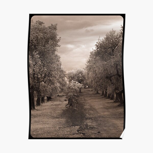 Olive Grove, Italy  Poster