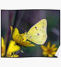 Orange Sulphur butterfly... Poster