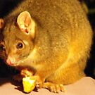 Ringtaled Possum by Richard  Willett