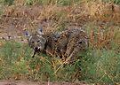 Coyote ~ Kaɪˈoʊti by Kimberly Chadwick