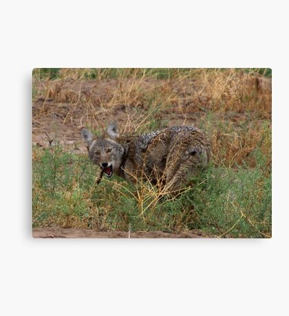 Coyote ~ Kaɪˈoʊti Canvas Print