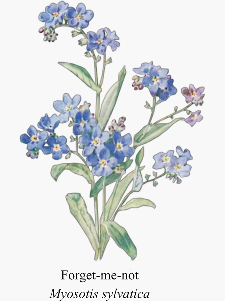 Forget-me-not Flower by 3Wang