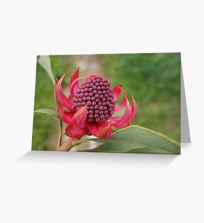 Waratah... Greeting Card