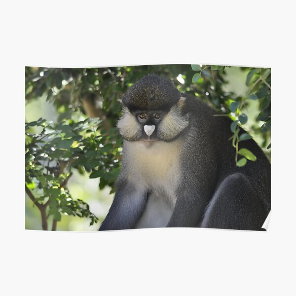 Spot-nosed guenon Poster
