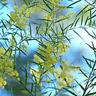 Spring Wattle,Quensland Australia by Virginia McGowan