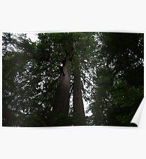 Sitka Spruce Poster