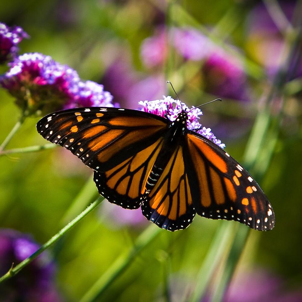 Monarch Feeding - Thuya Garden by David Clayton