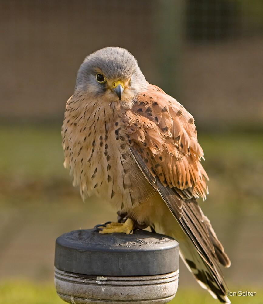 Baby sparrow hawk - photo#41