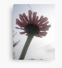 Zinia flower Canvas Print