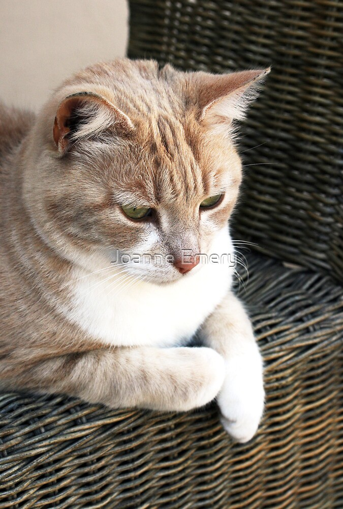 Pale ginger cat sitting on wicker chair by Joanne Emery
