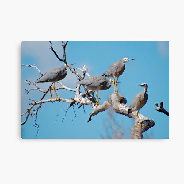 WADER ~ White-faced Heron by David Irwin 060819 Canvas Print
