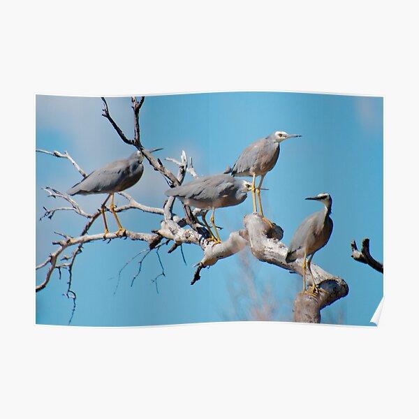 WADER ~ White-faced Heron YV3VUXBU by David Irwin 060819 Poster