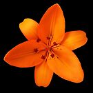 Inspirational Orange Lily On Black by hurmerinta