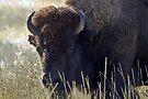 Bison - National Bison Range, Montana by amontanaview