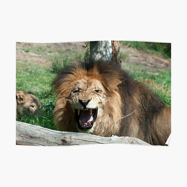 Lion roaring Poster
