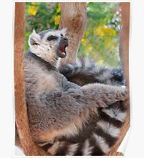 Ring tailed Lemur relaxing Poster