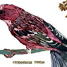 Carpodacus roseus (Pallas' Rosefinch) by Carol Kroll