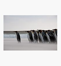 King Penguins - Volunteer Point, West Falkland Photographic Print
