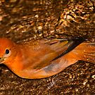 Water drops on Red bird! by vasu