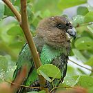 Brown headed parrot by Anthony Goldman