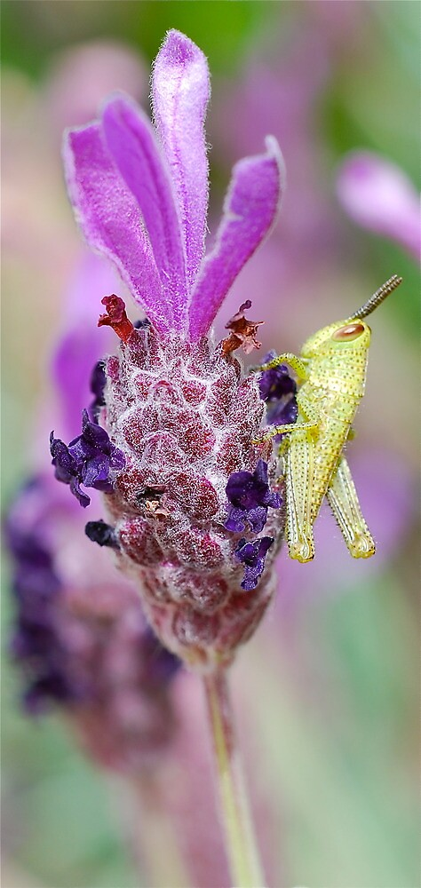 Mini Grasshopper on Lavender by Penny Smith