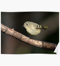 Avian Perpetual Motion / Ruby Crowned Kinglet  Poster