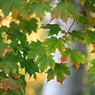 Beauty of the Maple by Marija