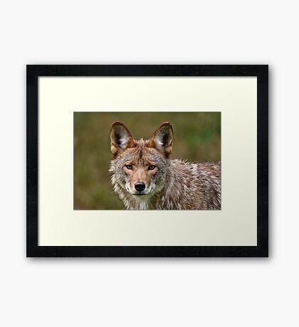 Coyote Portrait  Framed Print