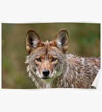 Coyote Portrait  Poster