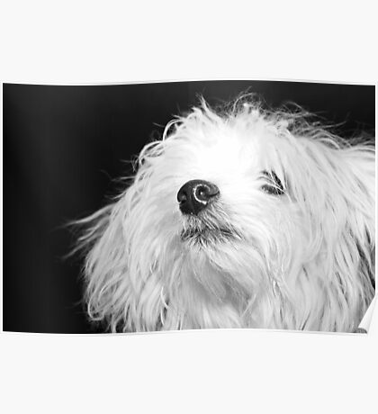 Maltese Pup Poster