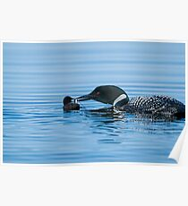 Loon feeding Baby - Mississippi Lake Poster