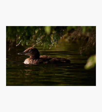 Common Loon Baby Photographic Print