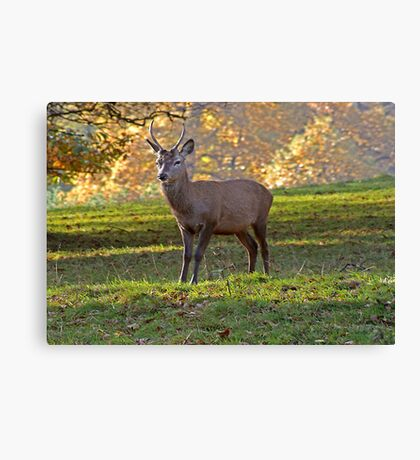 Young Stag - Red Deer Canvas Print
