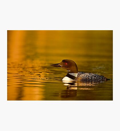Common Loon  Photographic Print