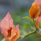 Bougainvillea apricot flower. by Virginia McGowan