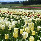 Flowerdale tulips - Bass Strait in background by gaylene