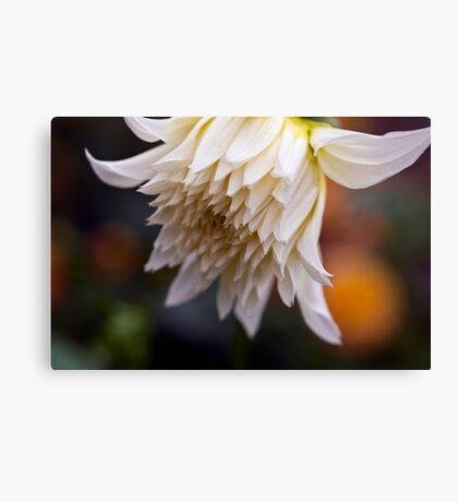 Large White Dahlia Opening Canvas Print