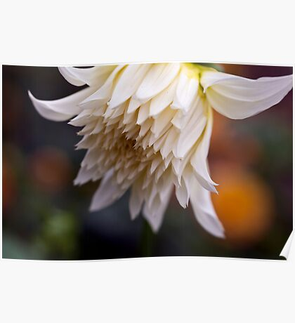 Large White Dahlia Opening Poster