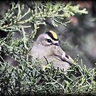 Gold Crested Kinglet by Dennis Cheeseman