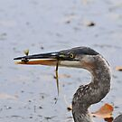 Young Heron & Fish by Lynda   McDonald