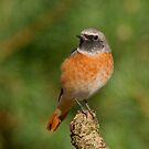Common Redstart - I (Phoenicurus phoenicurus) by Peter Wiggerman