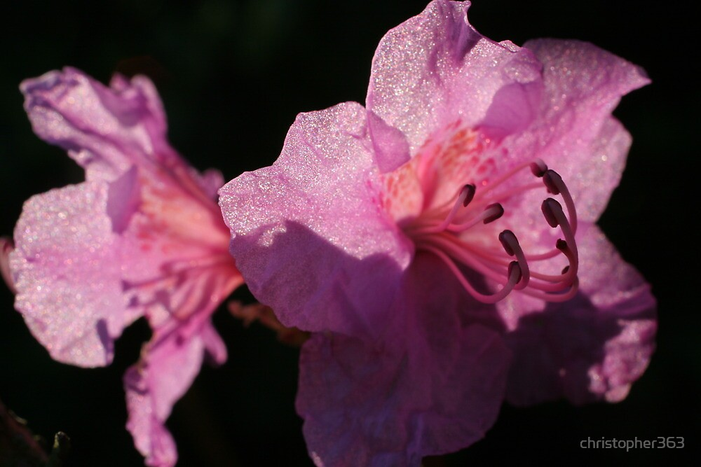 Soft flower petals shining in the sun by christopher363