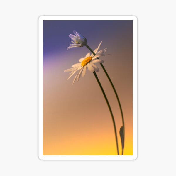 Wild white chrysanthemum Sticker