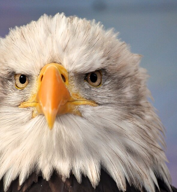 Bald Eagle by Andrew Jackson
