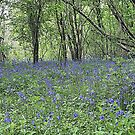 Stalbridge Blue Bell Wood by mike1242