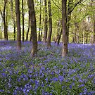Bluebell pano by Rose Atkinson
