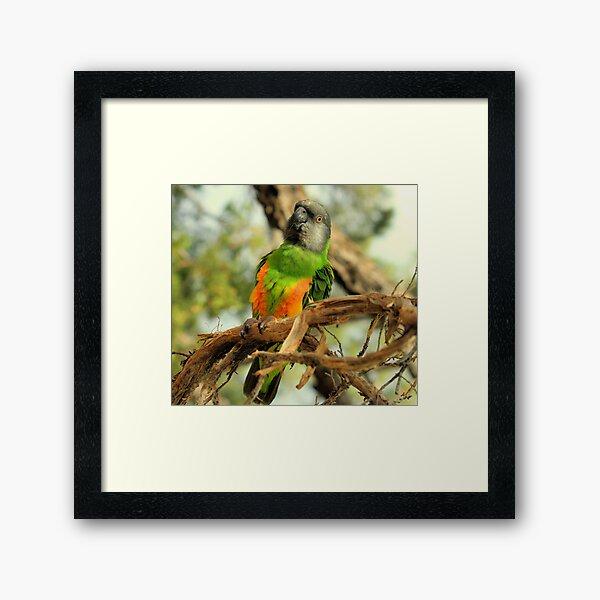 Parrot on Potosi Framed Art Print